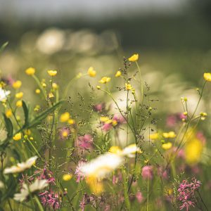 Image of a meadow and meadow flowers
